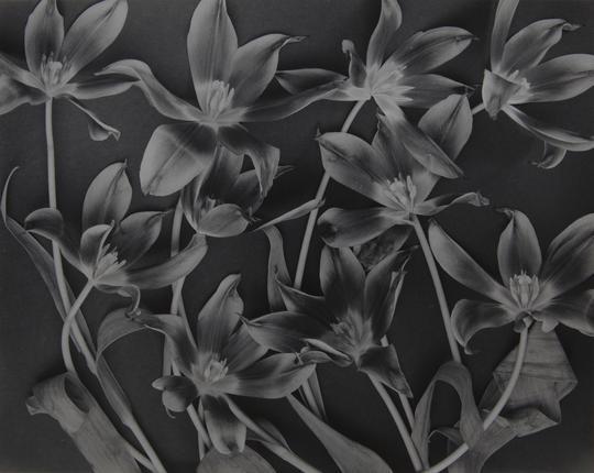 Tulipa (1994)