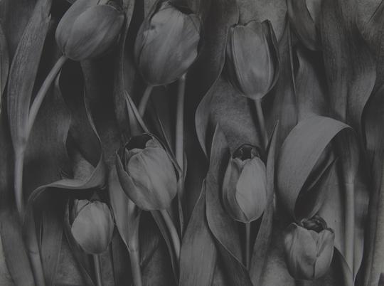 'Tulipa – Celebrations' (1992)